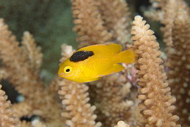 Lemon Damsel (Pomacentrus moluccensis) adult, with parasite attached, swimming in reef, Wetar Island, Barat Daya Islands, Lesser Sunda Islands, Maluku Province, Indonesia  -  Colin Marshall/ FLPA