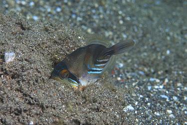 Blackbar Triggerfish (Rhinecanthus aculeatus) juvenile, burying in sand, Reta Island, Alor Archipelago, Lesser Sunda Islands, Indonesia  -  Colin Marshall/ FLPA