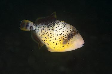 Yellowmargin Triggerfish (Pseudobalistes flavimarginatus) subadult, swimming, Ambon Island, Maluku Islands, Banda Sea, Indonesia  -  Colin Marshall/ FLPA