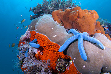 Blue Starfish (Linckia laevigata) two adults, on bommie with sponge and fish, Ameth Point, Nusa Laut, Maluku Islands, Banda Sea, Indonesia  -  Colin Marshall/ FLPA