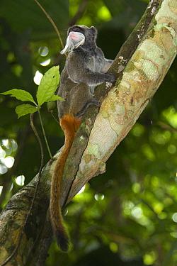 Bearded Emperor Tamarin (Saguinus imperator subgrisescens) adult, sitting in tree, Los Amigos Biological Station, Madre de Dios, Amazonia, Peru  -  Emanuele Biggi/ FLPA
