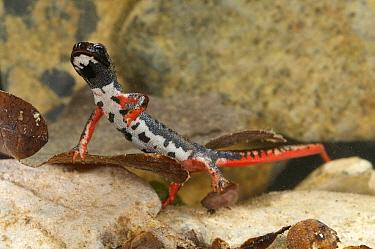 Northern Spectacled Salamander (Salamandrina perspicillata) adult, underwater, Italy  -  Emanuele Biggi/ FLPA