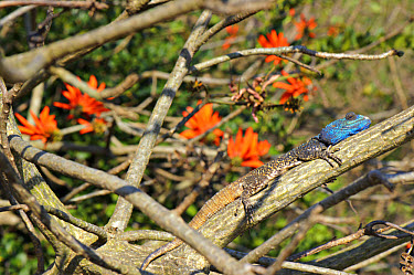 Southern Tree Agama (Acanthocercus atricollis) adult male, in breeding colours, basking on branch, South Africa  -  Emanuele Biggi/ FLPA