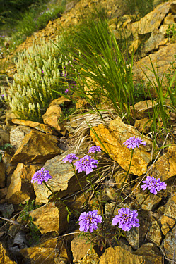 Globe Candytuft (Iberis umbellata) flowering, growing amongst rocks in habitat, Italy, may  -  Emanuele Biggi/ FLPA