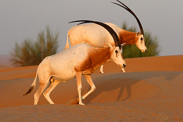 Scimitar-horned Oryx (Oryx dammah) two adults, walking on dunes, Dubai Desert Conservation Reserve, Al Maha, Dubai, United Arab Emirates  -  Philip Perry/ FLPA