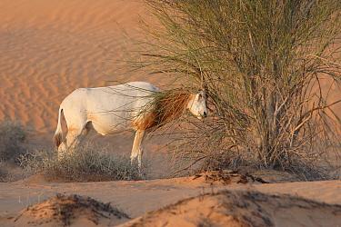 Scimitar-horned Oryx (Oryx dammah) adult male, scent marking bush, Dubai Desert Conservation Reserve, Al Maha, Dubai, United Arab Emirates  -  Philip Perry/ FLPA