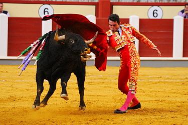Bullfighting, Matador with muleta, fighting bull impaled with banderillas in bullring, 'Tercio de muerte' stage of bullfight, Spain, september  -  Fabio Pupin/ FLPA