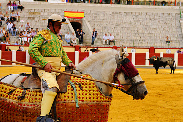 Bullfighting, Picador with lance, mounted on horse with 'Peto' protection, fighting bull in bullring, 'Tercio de varas' stage, Spain, september  -  Fabio Pupin/ FLPA