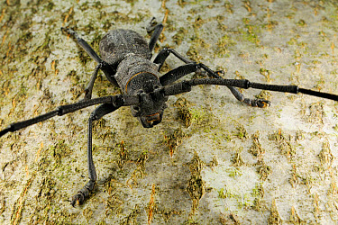 Longhorn Beetle (Morimus asper) adult, standing on tree trunk, Italy, june  -  Fabio Pupin/ FLPA