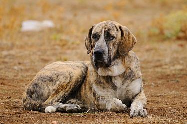Domestic Dog, Spanish Mastiff, adult male, resting, used as cattle dog in dehesa, Salamanca, Castile and Leon, Spain, september  -  Fabio Pupin/ FLPA
