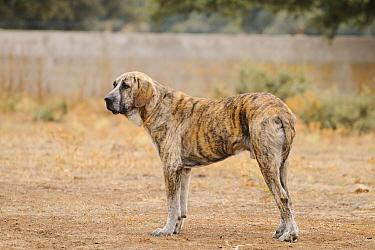 Domestic Dog, Spanish Mastiff, adult male, standing, used as cattle dog in dehesa, Salamanca, Castile and Leon, Spain, september  -  Fabio Pupin/ FLPA
