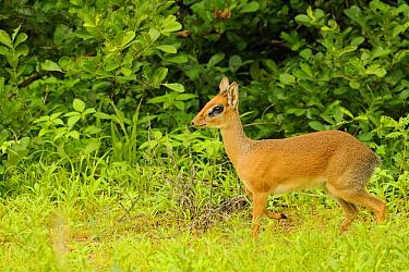 Kirk's Dik-dik (Madoqua kirkii) adult male, standing, Ruaha National Park, Tanzania  -  Fabio Pupin/ FLPA