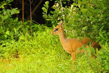 Kirk's Dik-dik (Madoqua kirkii) adult male, standing amongst vegetation, Ruaha National Park, Tanzania  -  Fabio Pupin/ FLPA