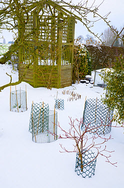 Snow covered garden with gazebo and wire netting protecting overwintering shrubs, Norfolk, England, february  -  Gary K Smith/ FLPA