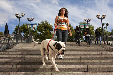 Domestic Dog, Old Tyme Bulldog, adult, on lead, being walked by young woman owner down steps in city, Canary Wharf, London, England, september  -  Angela Hampton/ FLPA