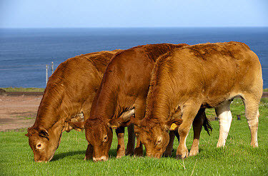 Domestic Cattle, Limousin heifers, imported from France, three grazing in coastal pasture, Scotland, september  -  Wayne Hutchinson/ FLPA