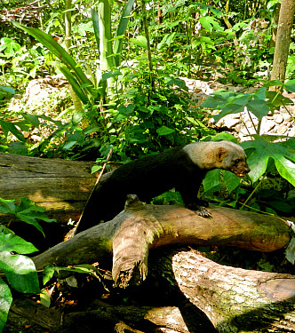 Tayra (Eira barbara) adult, standing on log in tropical forest, Belize (captive)  -  Chris & Tilde Stuart/ FLPA