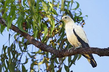 Pied Imperial-pigeon (Ducula bicolor) adult, perched on eucalyptus tree branch, Northern Territory, Australia  -  Gianpiero Ferrari/ FLPA