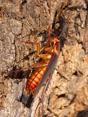 Australian Cockroach (Periplaneta australasiae) adult, cleaning front legs, basking on bark in early morning sunshine, Western Australia, Australia  -  Gianpiero Ferrari/ FLPA