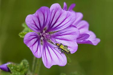Thick-legged Flower Beetle (Oedemera nobilis) adult male, on Common Mallow (Malva sylvestris) flower, Crossness Nature Reserve, Bexley, Kent, England, june  -  Dave Pressland/ FLPA