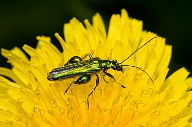 Thick-legged Flower Beetle (Oedemera nobilis) adult male, on dandelion flower, Crossness Nature Reserve, Bexley, Kent, England, june  -  Dave Pressland/ FLPA