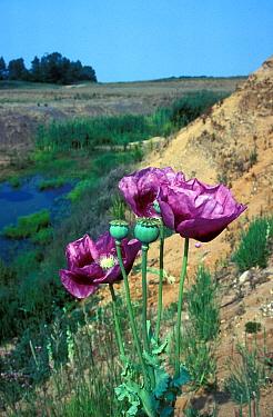 Flower, Opium Poppy (Papaver somniferus) Close-up, growing on sandy soil  -  Ian Rose/ FLPA