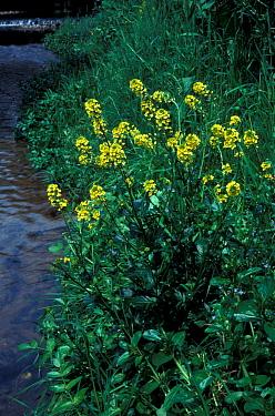 Flower, Cress Winter (Barbarea vulgaris) In flower next to water  -  Ian Rose/ FLPA