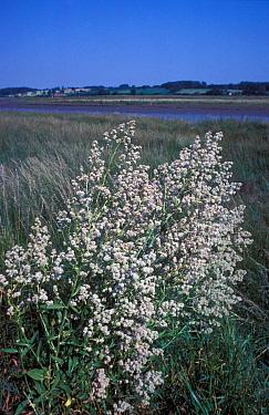Dittander (Lepidium latifolium) Large clump in flower, river in background  -  Ian Rose/ FLPA