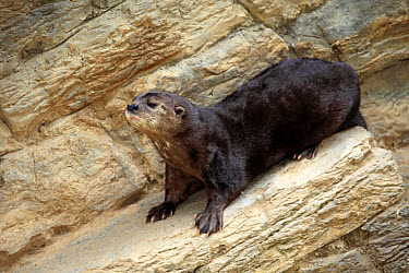 Spotted-necked Otter (Lutra maculicollis) adult, standing on rock, South Africa (captive)  -  Jurgen and Christine Sohns/ FLPA
