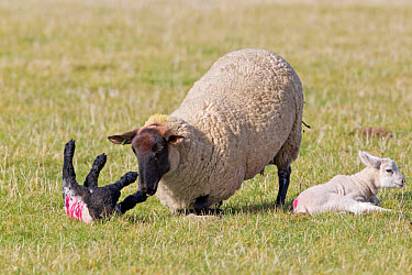 Domestic Sheep, Suffolk mule ewe, knocking over another ewe's lamb that has come too close to her own lamb, Suffolk, England, february  -  Paul Sawer/ FLPA
