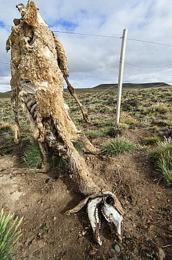 Guanaco (Lama guanicoe) dead adult, skeletal remains caught on wire fence in steppe, Santa Cruz Province, Patagonia, Argentina, november  -  Krystyna Szulecka/ FLPA