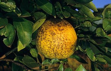 Grapefruit (Citrus x paradisi) fruit, damaged by Citrus Rust Mite (Phyllocoptruta oleivora)  -  Len McLeod/ FLPA