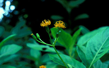 Gynura sechellensis from the Seychelles used to treat colds  -  David Hosking/ FLPA