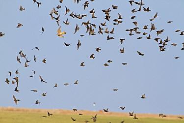 Merlin (Falco columbarius) immature, hunting, chasing Common Starling (Sturnus vulgaris) flock, in flight, Norfolk, England, march  -  Roger Tidman/ FLPA