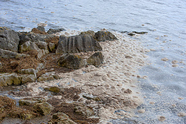 Eutrophic scum on water, Morecambe Bay, Grange over Sands, Cumbria, England, march  -  John Eveson/ FLPA
