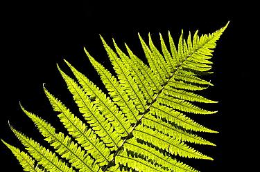 Male Fern (Dryopteris filix-mas) close-up of backlit frond, Brede High Woods, West Sussex, England, september  -  Dave Pressland/ FLPA