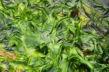 Sea Lettuce (Ulva lactuca) exposed at low tide, Swanage, Dorset, England, april  -  Steve Trewhella/ FLPA