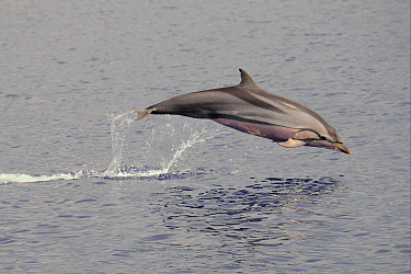 Striped Dolphin (Stenella coeruleoalba) adult, leaping out of water, Maldives, march  -  Malcolm Schuyl/ FLPA