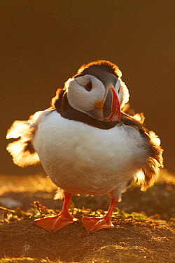 Atlantic Puffin (Fratercula arctica) adult, backlit with wind blowing through feathers, Skomer Island, Pembrokeshire, Wales, may  -  Mark Sisson/ FLPA