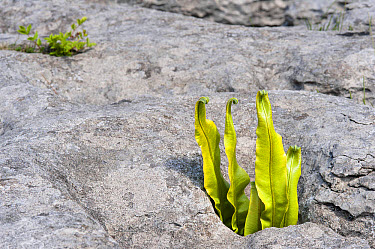 Hart's-tongue Fern (Phyllitis scolopendrium) fronds, growing from gryke (crevice) in limestone pavement, Ingleborough National Nature Reserve, Yorkshire Dales National Park, North Yorkshire, England,...  -  Krystyna Szulecka/ FLPA