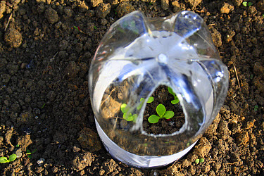 Lettuce (Lactuca sativa) 'Little Gem' seedlings, growing in plastic bottle cloche on garden vegetable plot, Bacton, Suffolk, England, april  -  Marcus Webb/ FLPA
