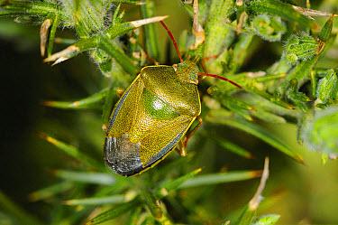 Gorse Shieldbug (Piezodorus lituratus) adult, resting on Common Gorse (Ulex europaeus) in coastal heathland, Norfolk, England, april  -  Gary K Smith/ FLPA