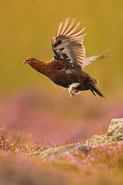 Red Grouse (Lagopus lagopus scoticus) adult male, in flight over flowering heather, North Yorkshire, England, september  -  Des Ong/ FLPA