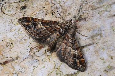 Double-striped Pug (Gymnoscelis rufifasciata) adult, newly emerged, resting on birch tree, Belvedere, Bexley, Kent, England, february  -  Dave Pressland/ FLPA