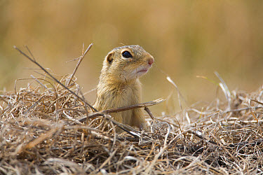 Thirteen-lined Ground Squirrel (Spermophilus tridecemlineatus) adult, looking over dry vegetation, North Dakota, U.S.A., april  -  Daphne Kinzler/ FLPA