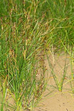 Saltmarsh Rush (Juncus gerardii) growing on saltmarsh, Poole Harbour, Dorset, England, july  -  Steve Trewhella/ FLPA