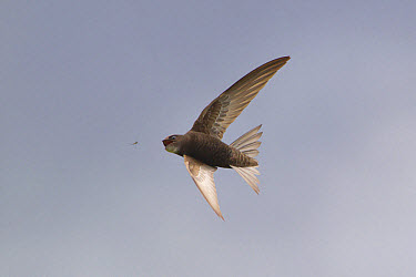 Common Swift (Apus apus) adult, in flight, catching insect, Suffolk, England, june  -  Paul Sawer/ FLPA