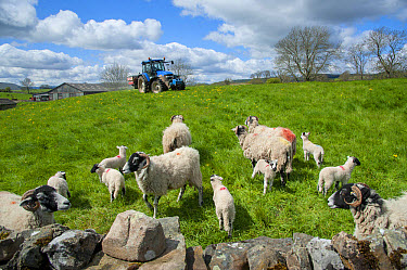 Tractor with spreader, spreading granular fertilizer on grassland with Domestic Sheep, Swaledale ewes and lambs, Castle Bolton, Redmire, North Yorkshire, England, may  -  John Eveson/ FLPA