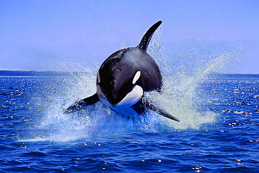 Killer Whale (Orcinus orca) adult, leaping from water (digital composite)  -  Gerard Lacz/ FLPA