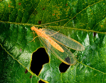 Common green lacewing (Chrysoperla carnea) adult with diapausal colouring  -  Nigel Cattlin/ FLPA